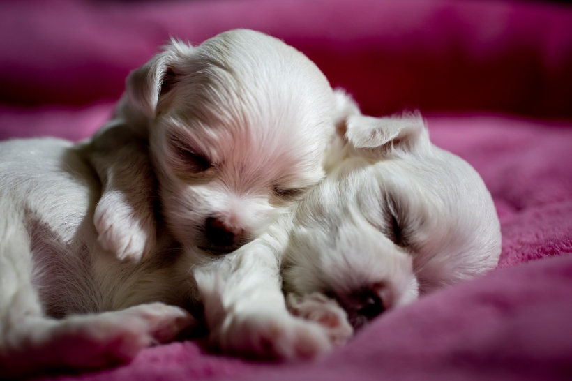 Puppies_20