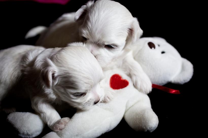 Puppies_28